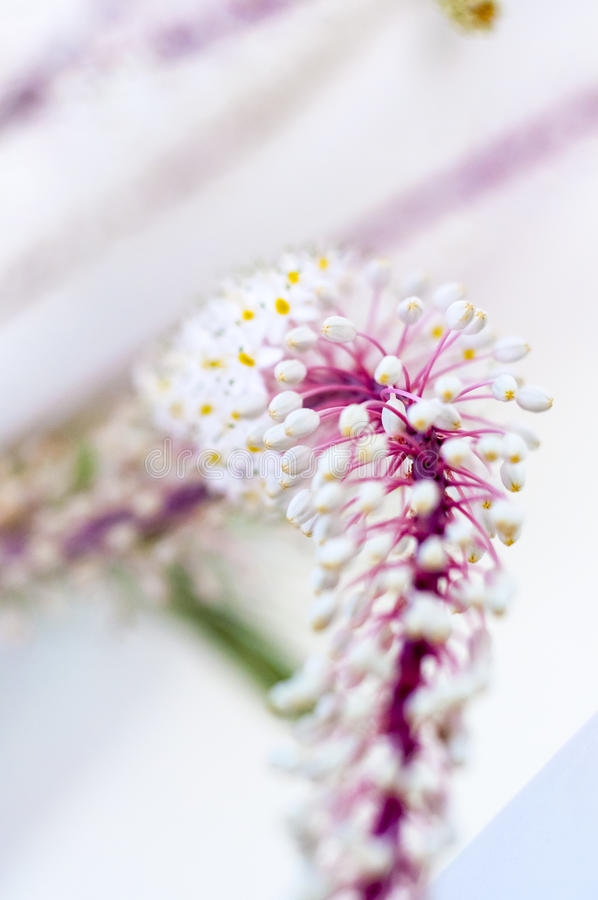 False sea onion. Blossoms, macro detail with blurry background stock photography