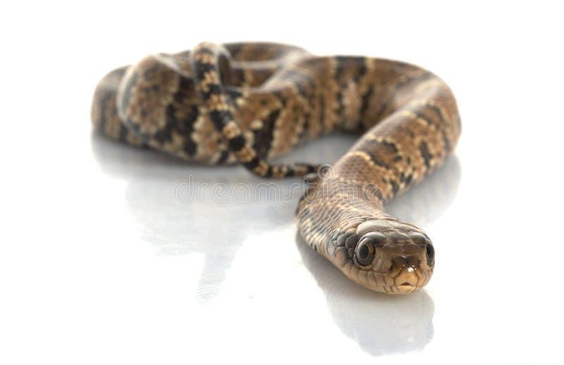 False Water Cobra royalty free stock photos