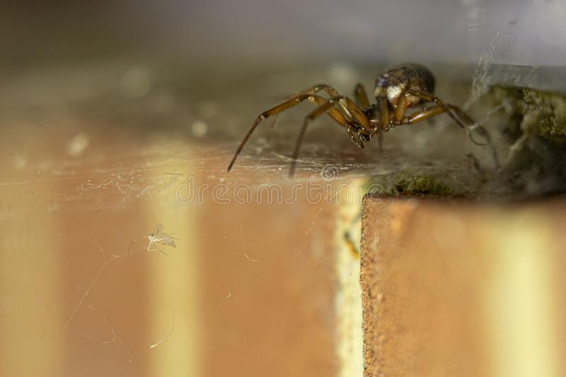 False widow spider. Noble false widow spider going after it`s prey trapped in the spider web stock photo