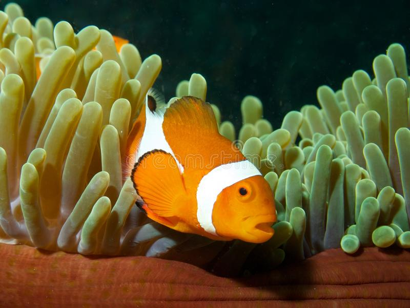 Falsk clown Fish royaltyfri foto