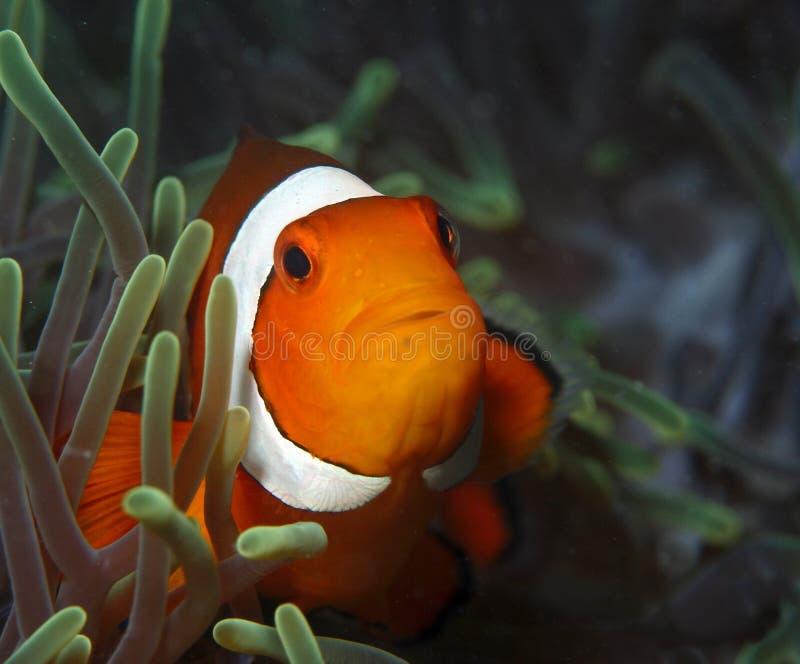 falsk fisk för clown royaltyfria bilder