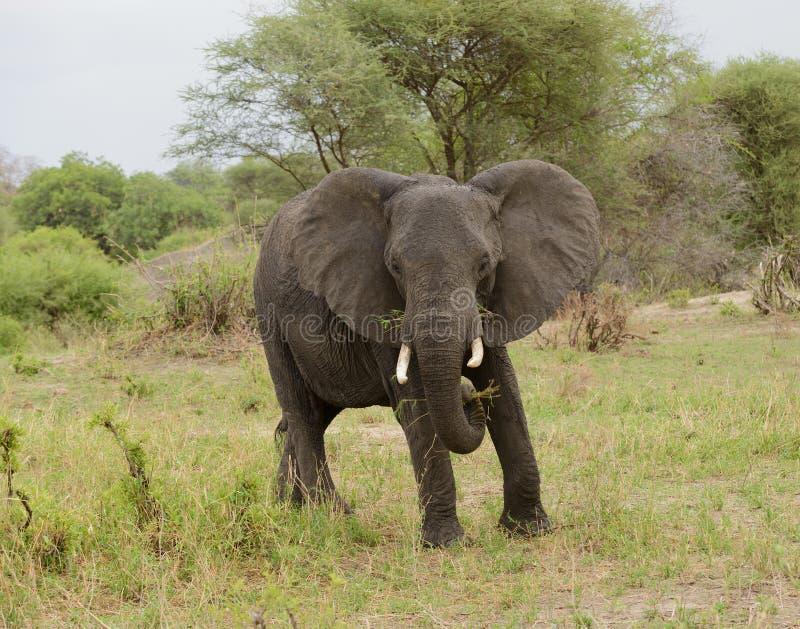 Falsk laddning vid en elefant i Taragire royaltyfria bilder