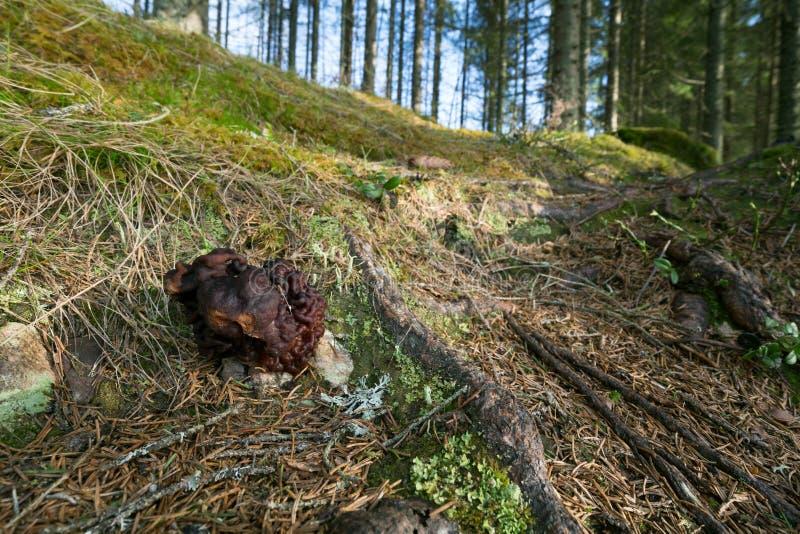 Falsk morel, esculenta som Gyromitra växer i barrskog royaltyfria bilder