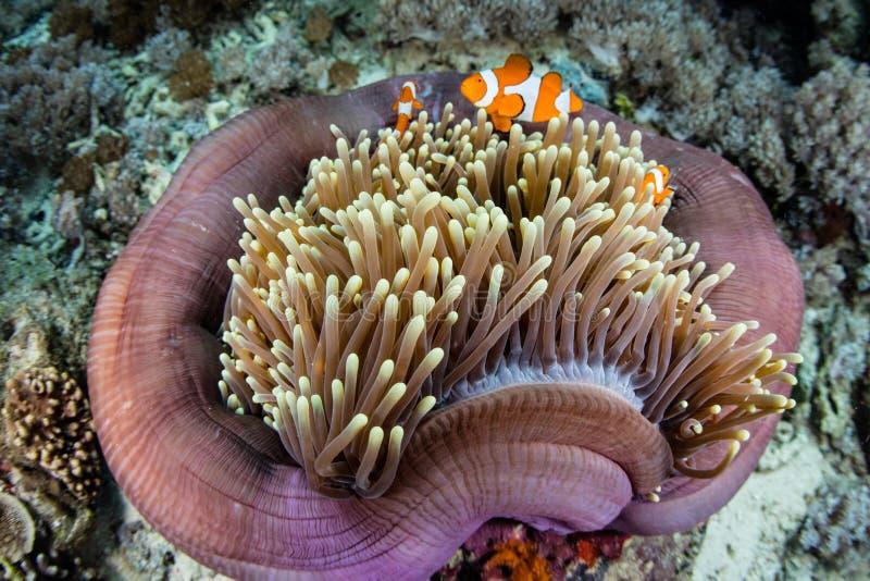 Falska Clownfish och anemon royaltyfri fotografi