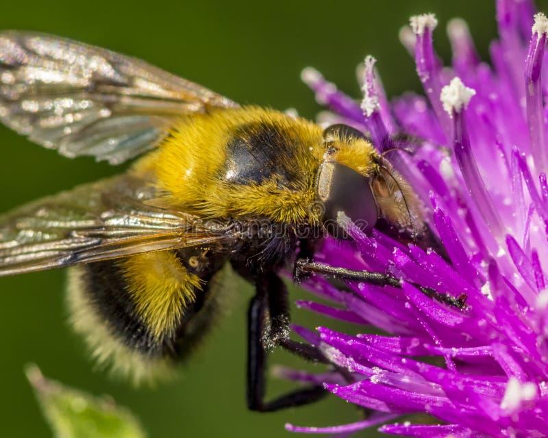 Falso tropeçar a abelha foto de stock