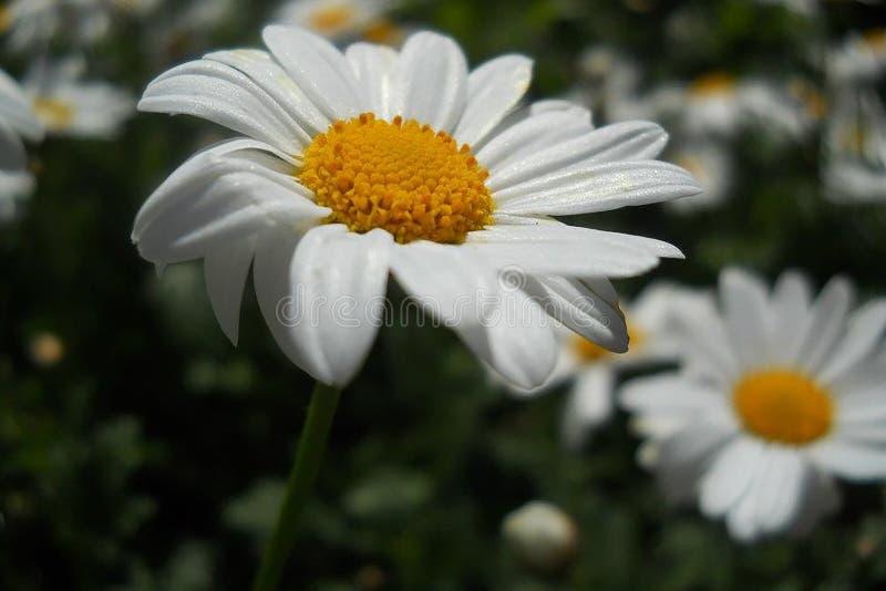 Falta de definici?n blanca del fondo de la flor macra de la foto fotografía de archivo