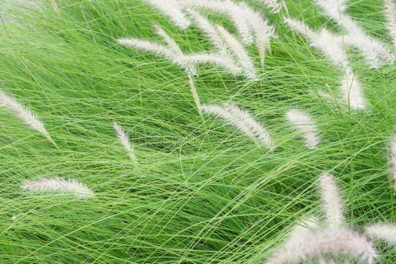 Falta de definición de movimiento del poaceae que sopla fotografía de archivo