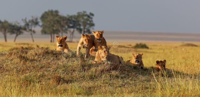 Família africana do leão no relógio em um outeiro no por do sol fotos de stock royalty free