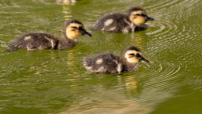 Família bonita da natação dos patos fotos de stock