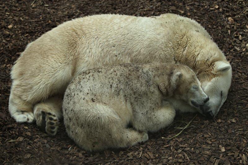 Família bonita grande do urso polar que dorme junto fotos de stock