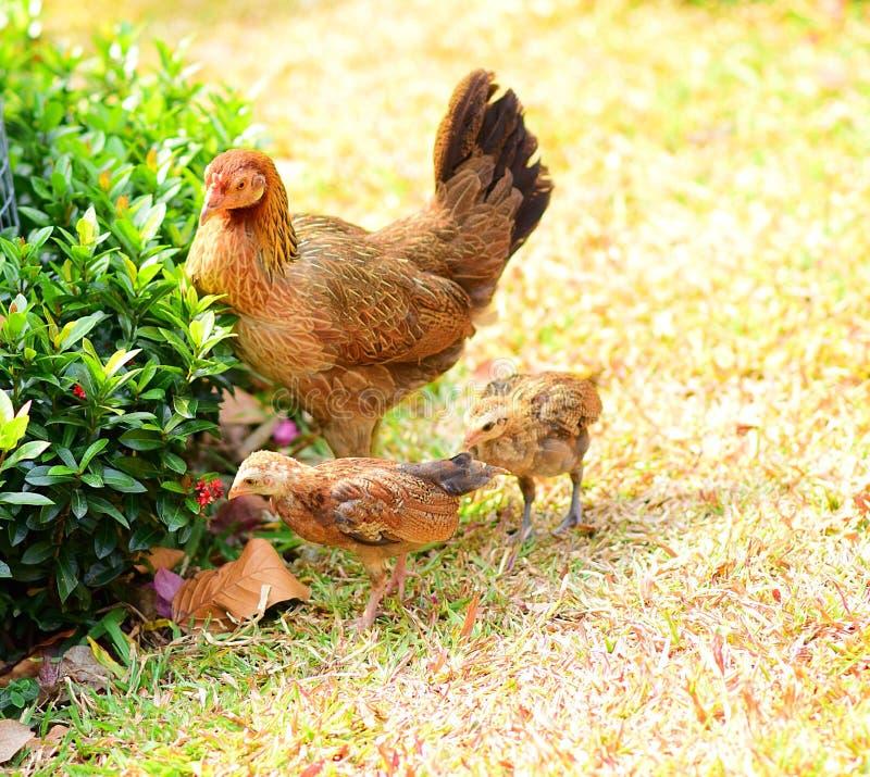 Família bonito da galinha fotografia de stock royalty free