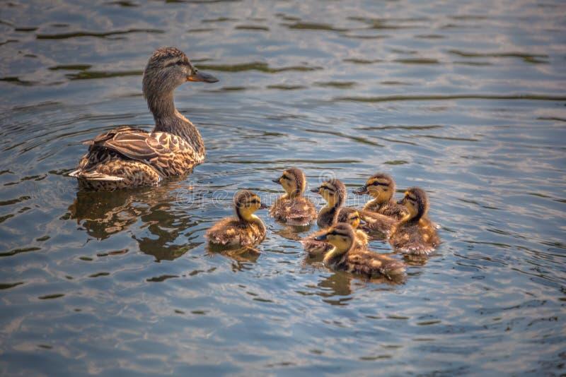 Família bonito do pato que nada junto imagens de stock royalty free