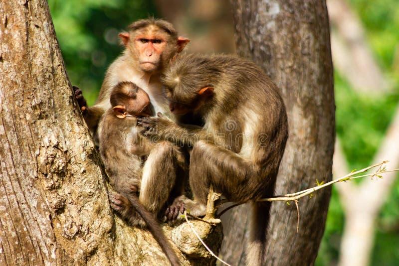 Família Bonnet Macaque descansando em uma árvore, Biligirirangan Tiger Reserve, Karnataka, Índia imagens de stock royalty free