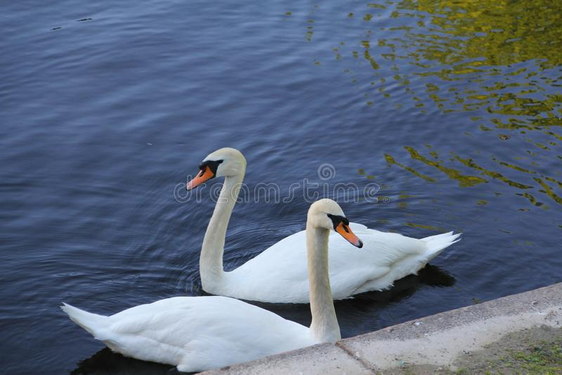 Família branca bonita da cisne um par fotografia de stock royalty free