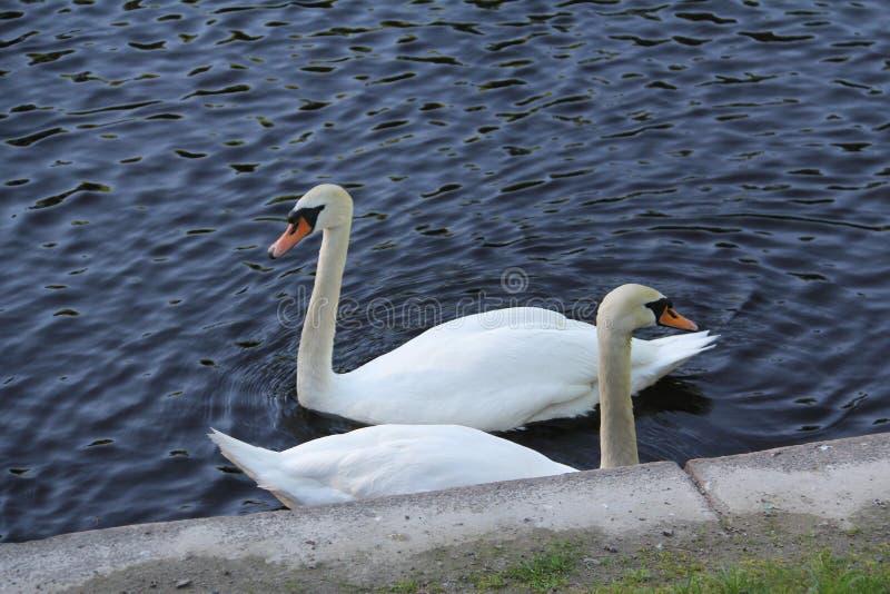 Família branca bonita da cisne um par foto de stock