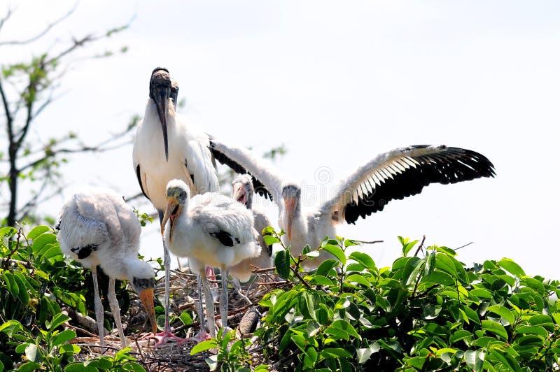 Família branca da cegonha de madeira no ninho nos pantanais fotografia de stock