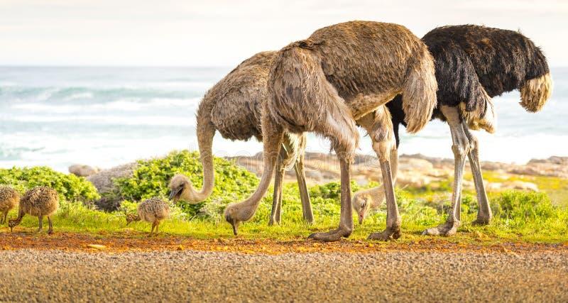 Família da avestruz fotos de stock