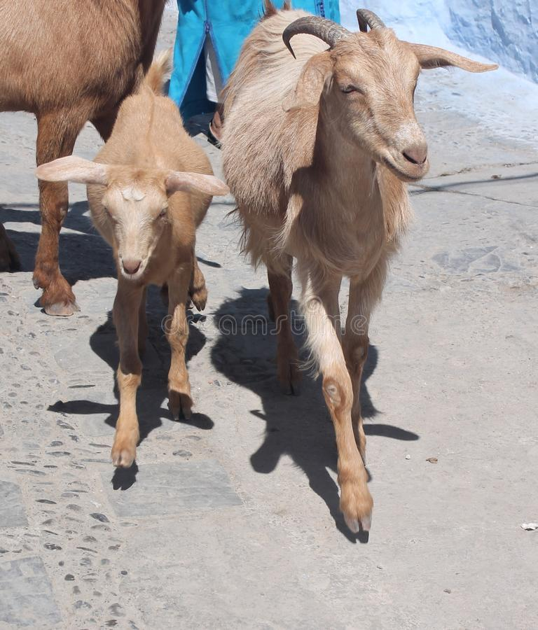 Família da cabra fotos de stock royalty free
