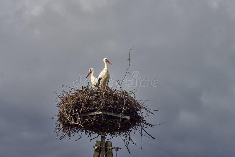 Família da cegonha no ninho fotos de stock royalty free