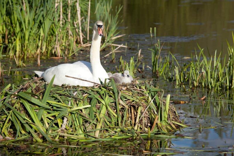 Família da cisne imagens de stock royalty free