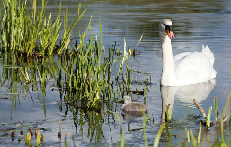 Família da cisne foto de stock royalty free