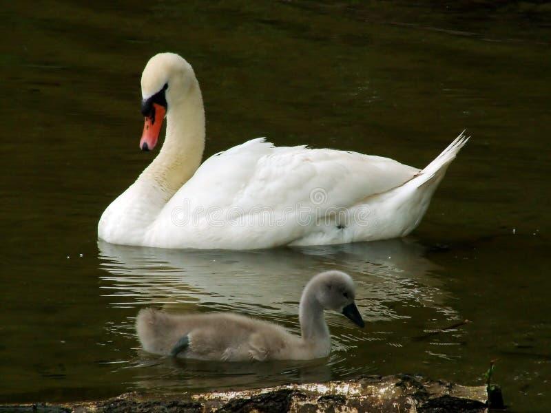 A família da cisne imagens de stock royalty free