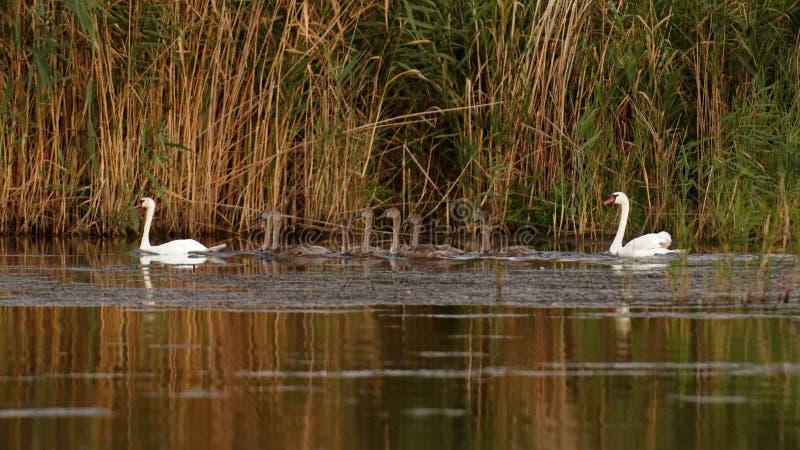 Família da cisne muda no delta de Danúbio imagem de stock