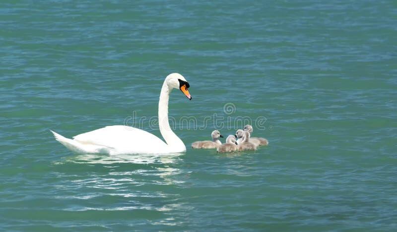 Família da cisne no lago Balaton fotografia de stock