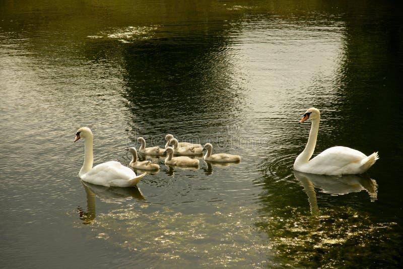Família da cisne no lago na tarde fotografia de stock royalty free
