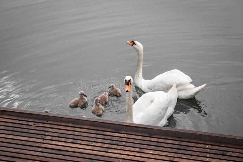 Família da cisne, pais orgulhosos com as cisnes do bebê que nadam em um lago, fim acima fotografia de stock royalty free