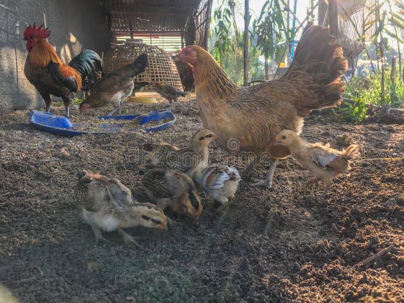 Família da galinha em rebanhos animais de cultivo imagem de stock