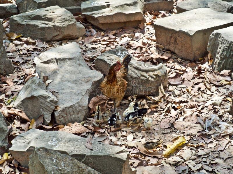 Família da galinha, Siem Reap, Camboja foto de stock royalty free