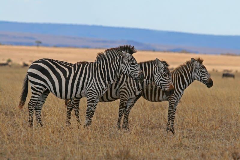 Família da zebra fotografia de stock
