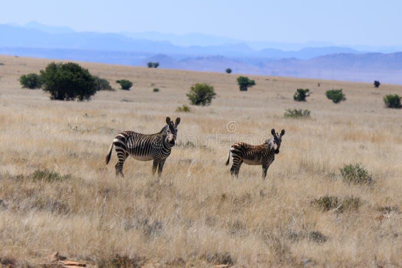 Família da zebra que está sendo alertada imagem de stock