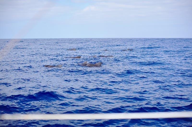 Família das baleias, golfinhos no mar, oceano, viagem de observação do iate imagens de stock royalty free