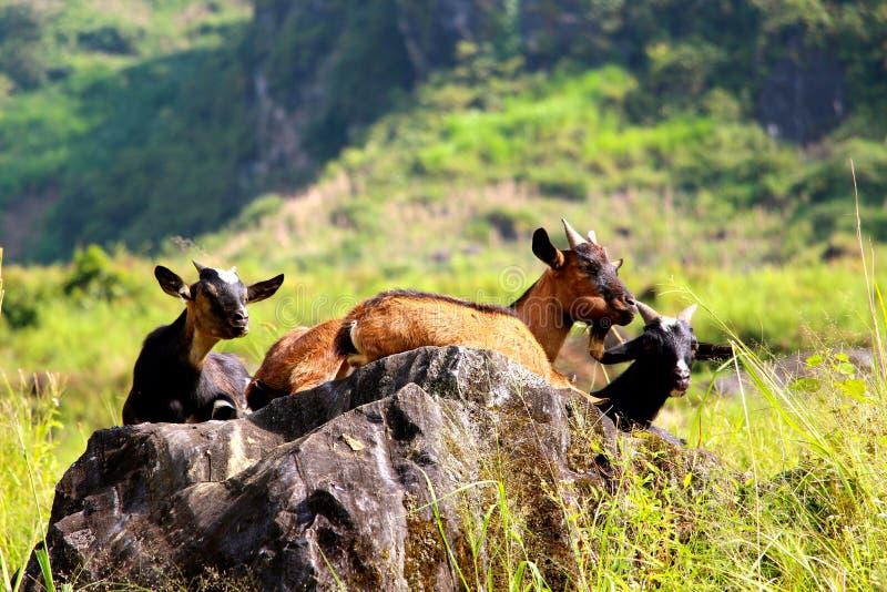 Família das cabras que embebem acima os raios do amanhecer de luz do sol imagens de stock royalty free