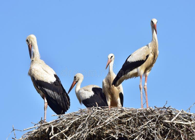 Família das cegonhas brancas imagem de stock