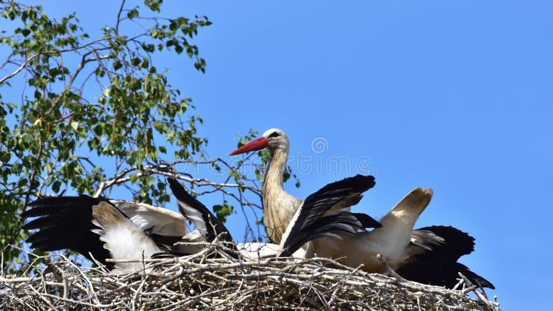 Família das cegonhas brancas fotografia de stock
