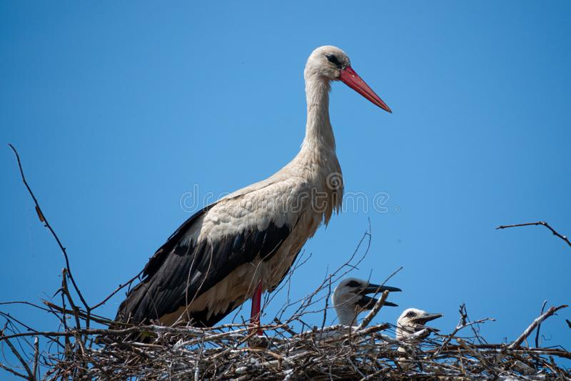Família das cegonhas brancas no ninho fotos de stock royalty free