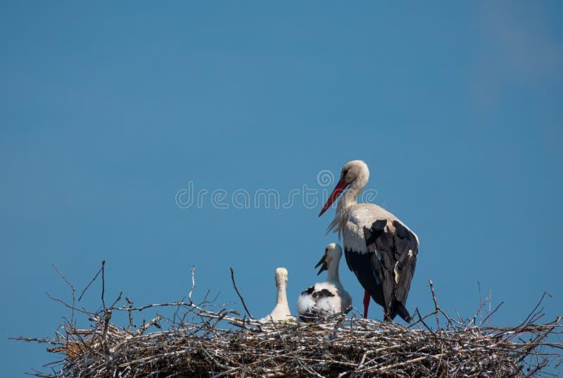 Família das cegonhas brancas no ninho imagens de stock