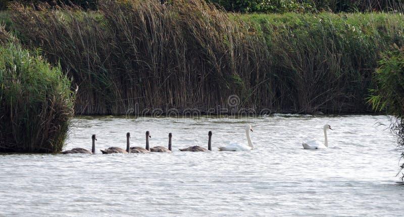 Família das cisnes imagens de stock