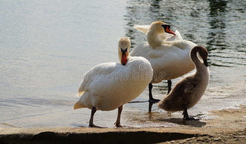 Família das cisnes fotos de stock royalty free