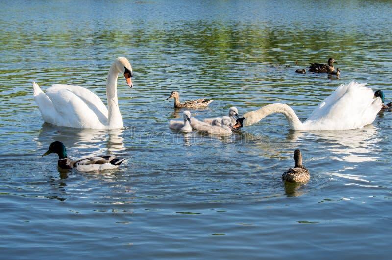 Família das cisnes com pintainhos e os patos selvagens fotografia de stock
