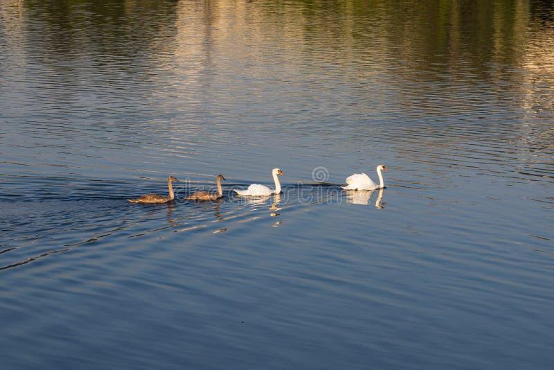 Família das cisnes em um lago fotos de stock royalty free