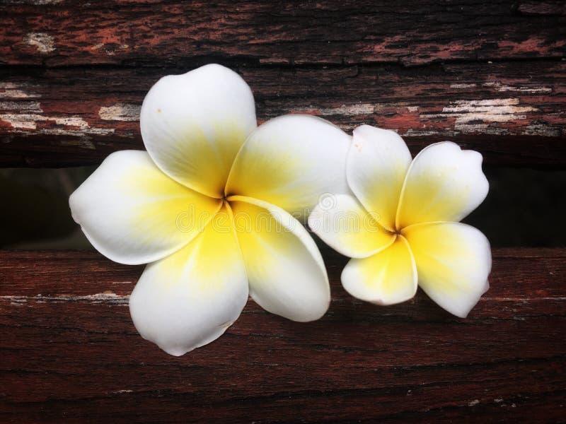 A família das flores do Frangipani esteja junto no fundo de madeira do entalhe fotos de stock