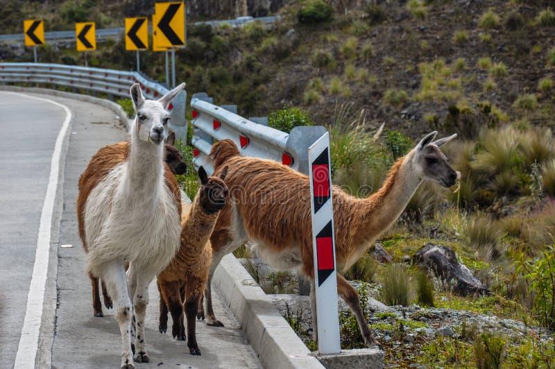 Família das Lamas no parque nacional do EL Cajas, Equador imagens de stock