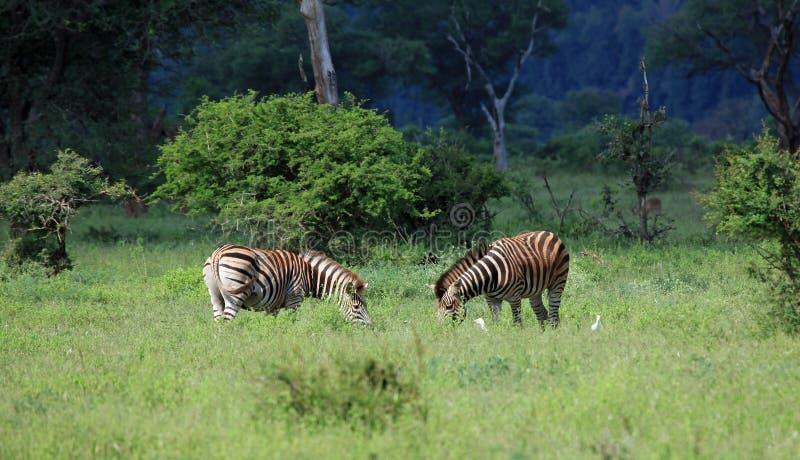 Família das zebras fotografia de stock royalty free