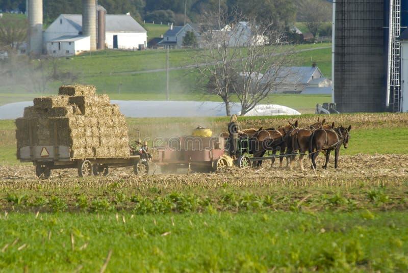 Família de Amish que colhe os campos em Autumn Day pinta 4 foto de stock royalty free
