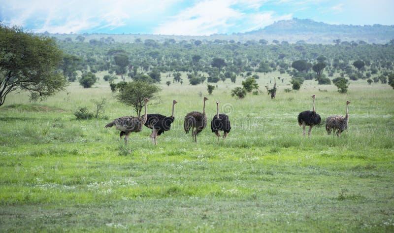 A família de avestruzes africanas selvagens os homens é preta e as fêmeas são marrons em Tanzânia, África fotografia de stock royalty free