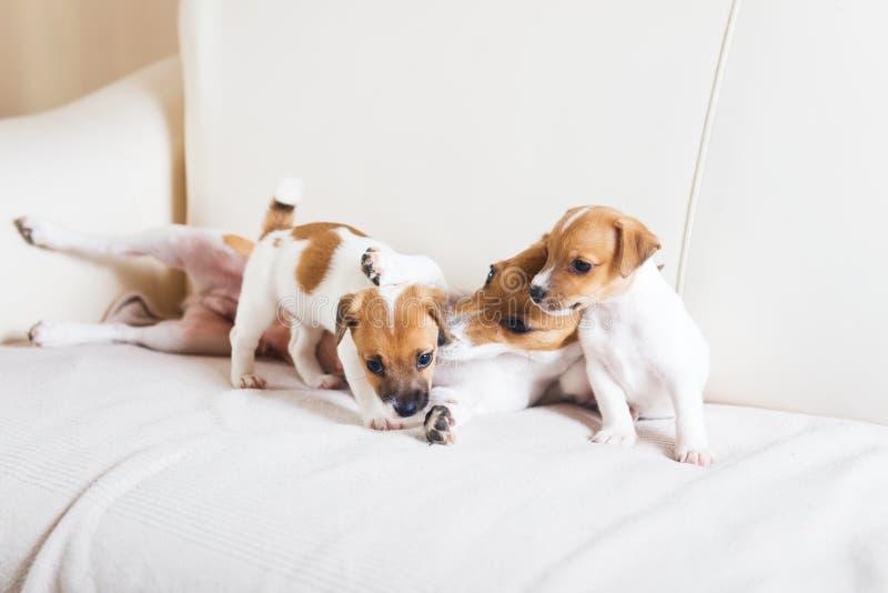 Família de cão que joga em um sofá imagem de stock royalty free